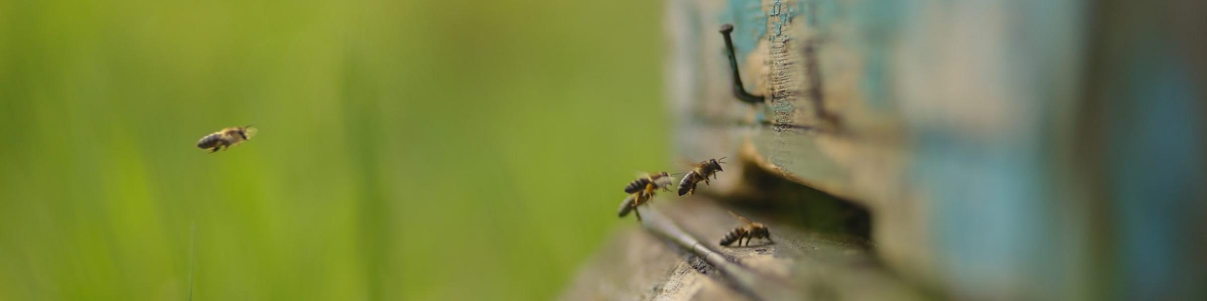 Bienen Anflug